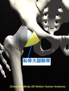 恥骨大腿靱帯
