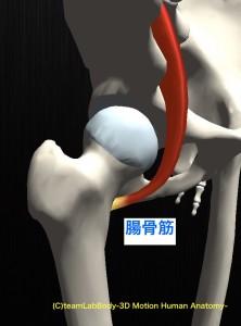 腸骨筋 横