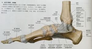 足部 靱帯 内側