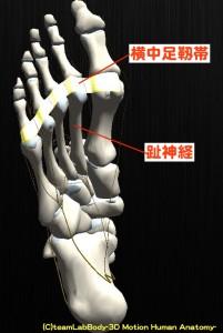 横中足靱帯