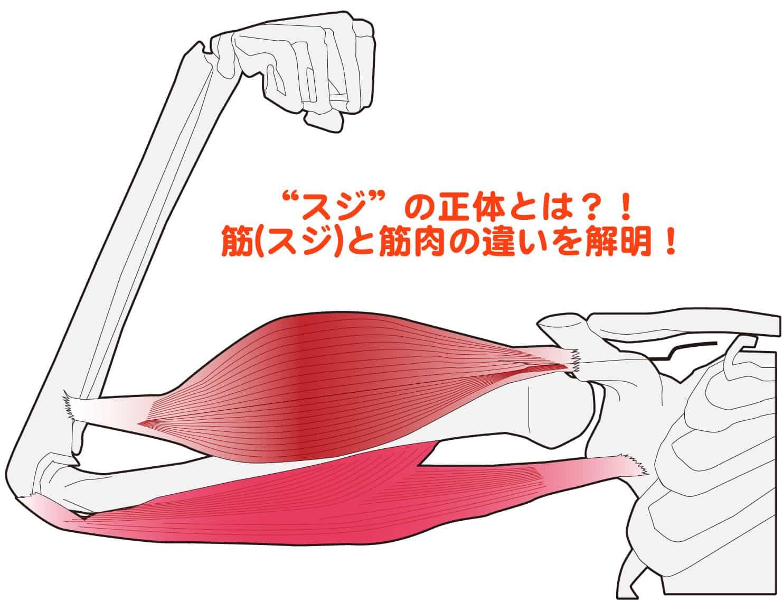 筋(すじ)の本当の正体とは?! 筋(スジ)と筋肉の違い、腱と靱帯との違いをご紹介!