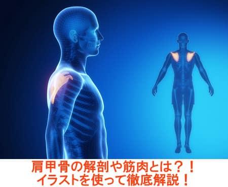 肩甲骨や肩関節の解剖学や筋肉をイラストを使って徹底解説!
